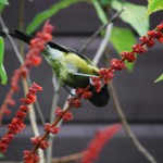 Bellbird or korimako