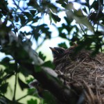 Fantail nest