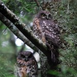 Ruru or morepork