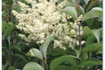 Privet (Ligustrum species)