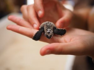 New turtle arrival